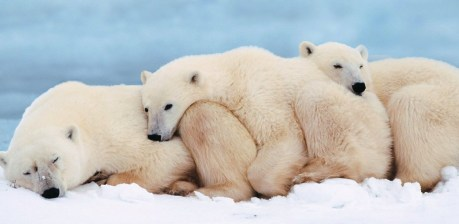 Ours polaires en Alaska