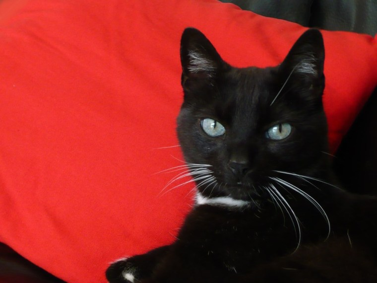 Le chat Harley vivid black
